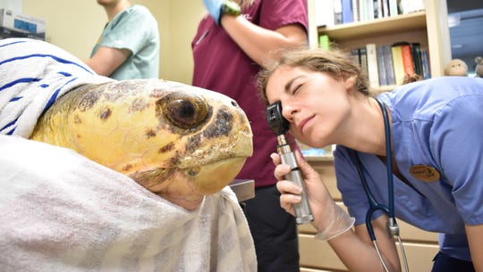 Staff at the Clinic for the Rehabilitation of Wildlife on Sanibel Island are treating sea turtles affected by red tide in August. The red tide attacks the turtle nervous system, making it weak and more susceptible to drowning or attack from a predator. The animals are treated with a combination of IV fluids, antibiotics and sometimes a blood transfusion. CROW has treated four sea turtles founded stranded in Collier County.