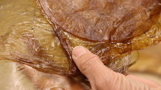 Galina Mihaleva shows the unusual self-healing properties of kombucha, a leather-like material grown from tea.