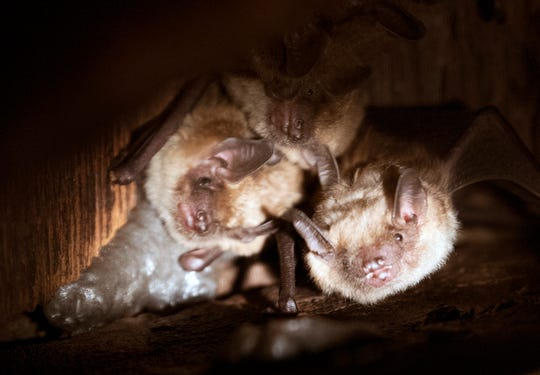 These large brown bats were hanging at the peak of a roof in an Dover Township attic. Mike Ellis and his son were able to begin sealing the early-1800s home in mid-August, once the bat pups were old enough to fend for themselves. The sealing process allows bats to leave a premises but not return.