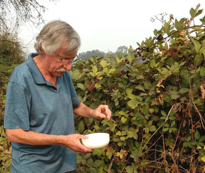 Henry blackberry crop: Henry the hunter-gatherer bags blackberries at Minto Brown Island Park.