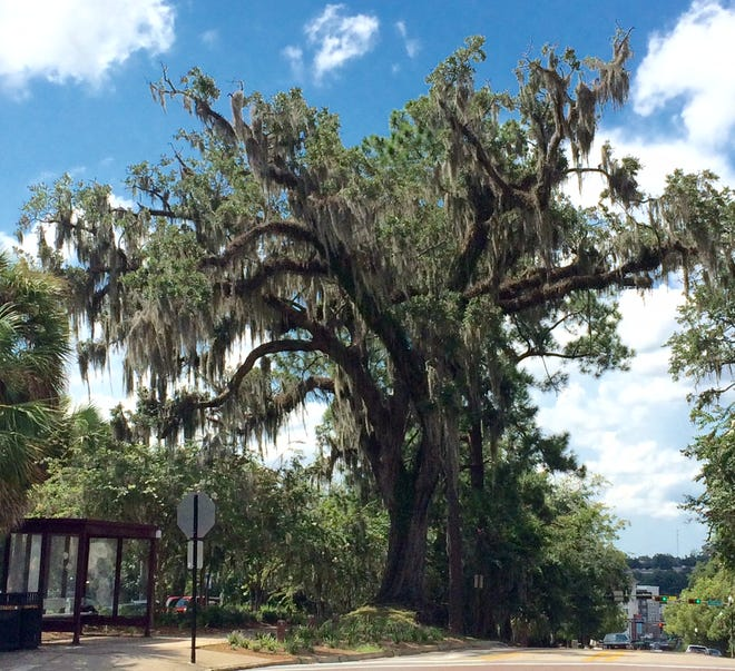 Spanish moss, which is actually a bromeliad, does not harm healthy trees, but instead takes advantage of defoliating trees as they naturally decline in health.