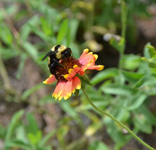 Late August has carpenter bees collecting pollen and consuming nectar from local wildflowers.