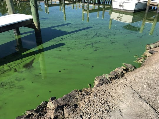 Algae can be seen Aug. 19, 2018, filling the marina at Riverland Mobile Home Park off the South Fork of the St. Lucie River in Stuart.