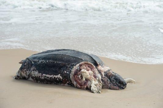 News Leatherback Turtle