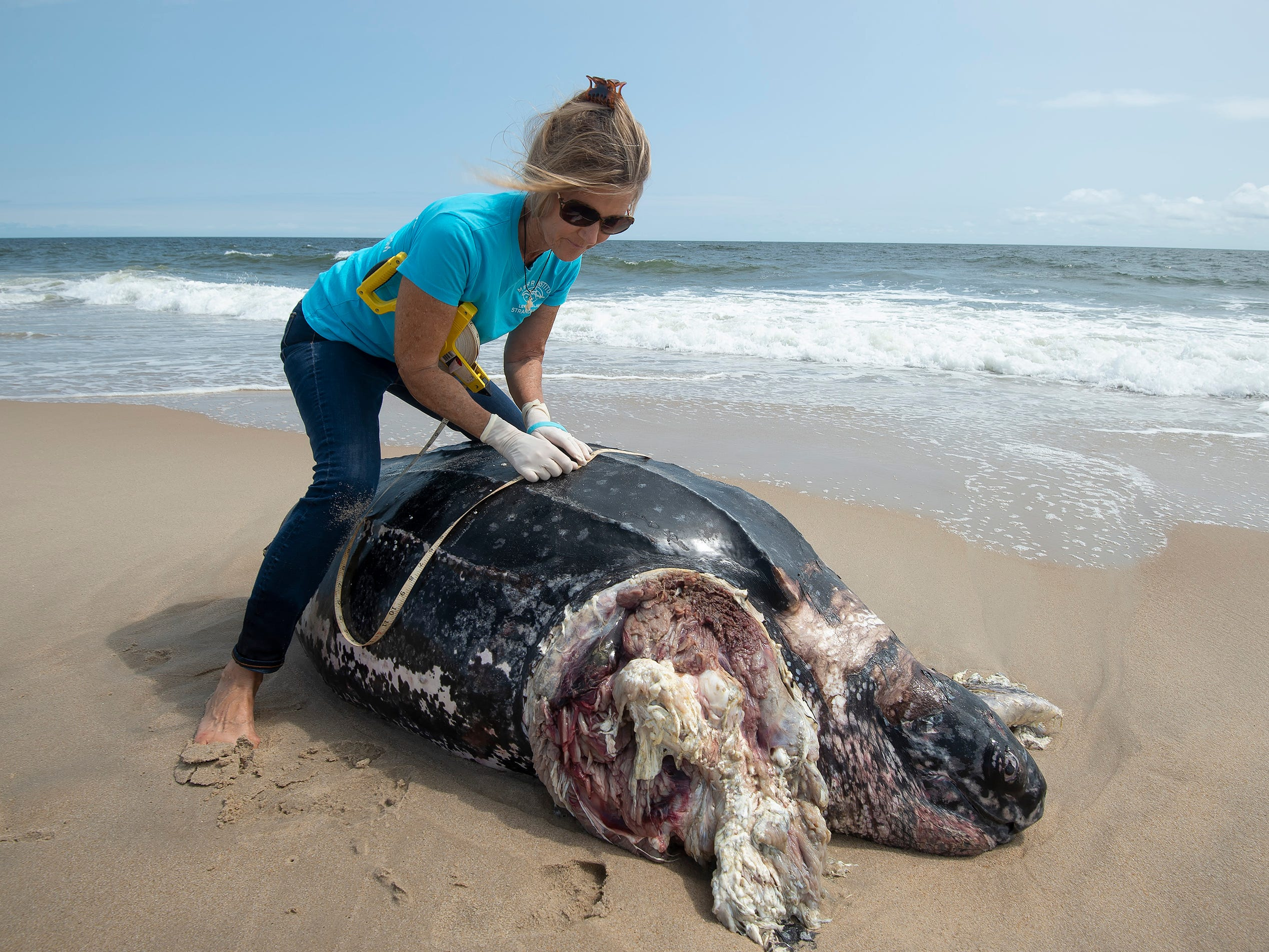 Suzanne Thurman, executive director of the MERR Institute, measures the leatherback sea turtle that washed up along the Delaware Seashore State Park Beach, Tower Road south of Dewey Beach.