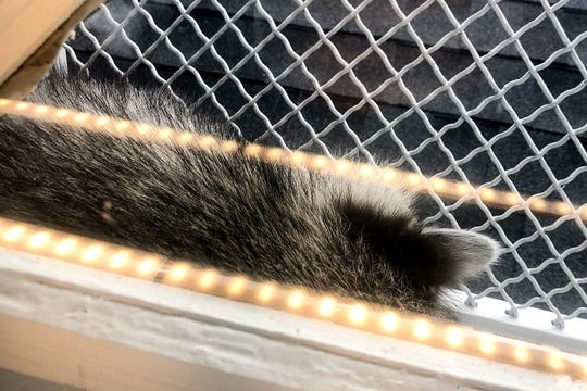 A raccoon snoozes on the sunny side of the Free Library's Tacony branch in Philadelphia.