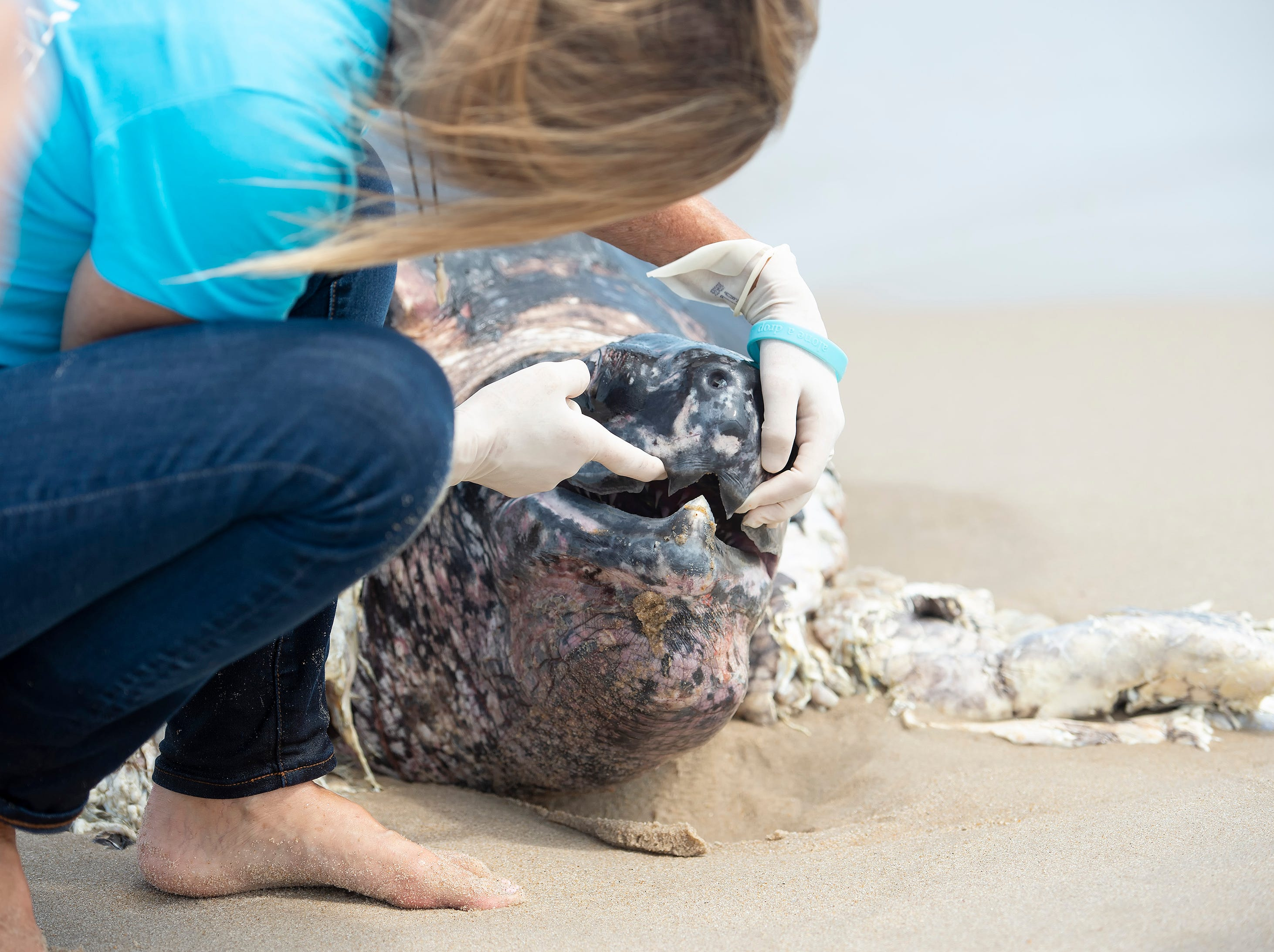 Suzanne Thurman, executive director of the MERR Institute, examines the leatherback sea turtle that washed up along the Delaware Seashore State Park Beach, Tower Road south of Dewey Beach.