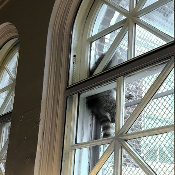 Baby raccoon camps out in a window at a Philadelphia library