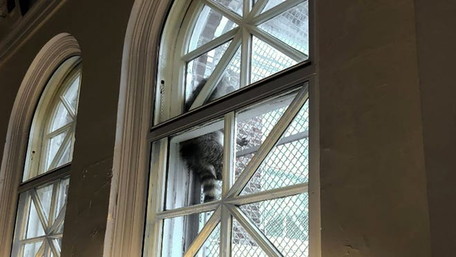 A raccoon climbs the window security gate at Tacony Library in Philadelphia.
