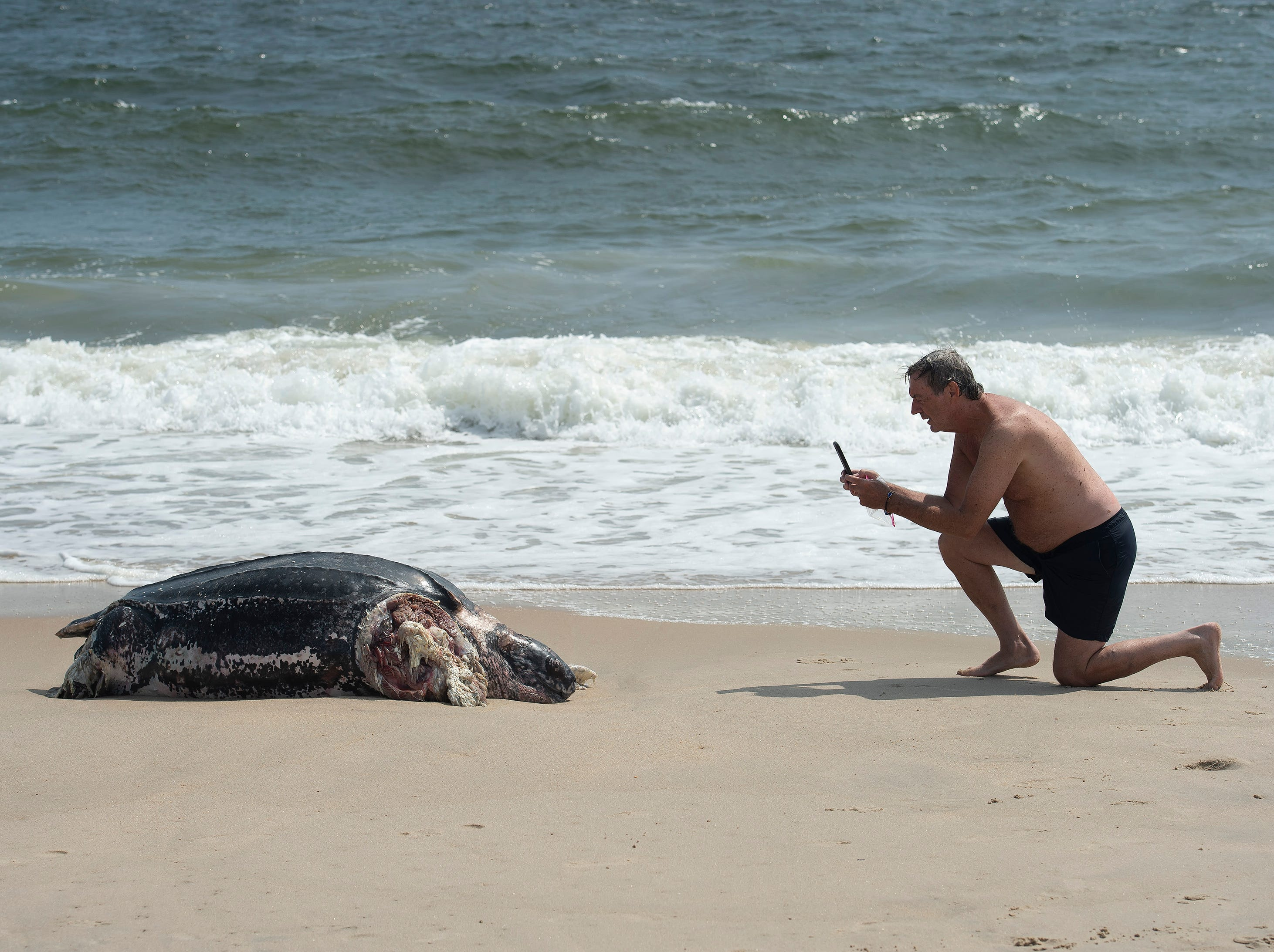Doug Stewart of Dewey Beach takes a photo of a leatherback sea turtle that washed up along the Delaware Seashore State Park Beach, Tower Road south of Dewey Beach.