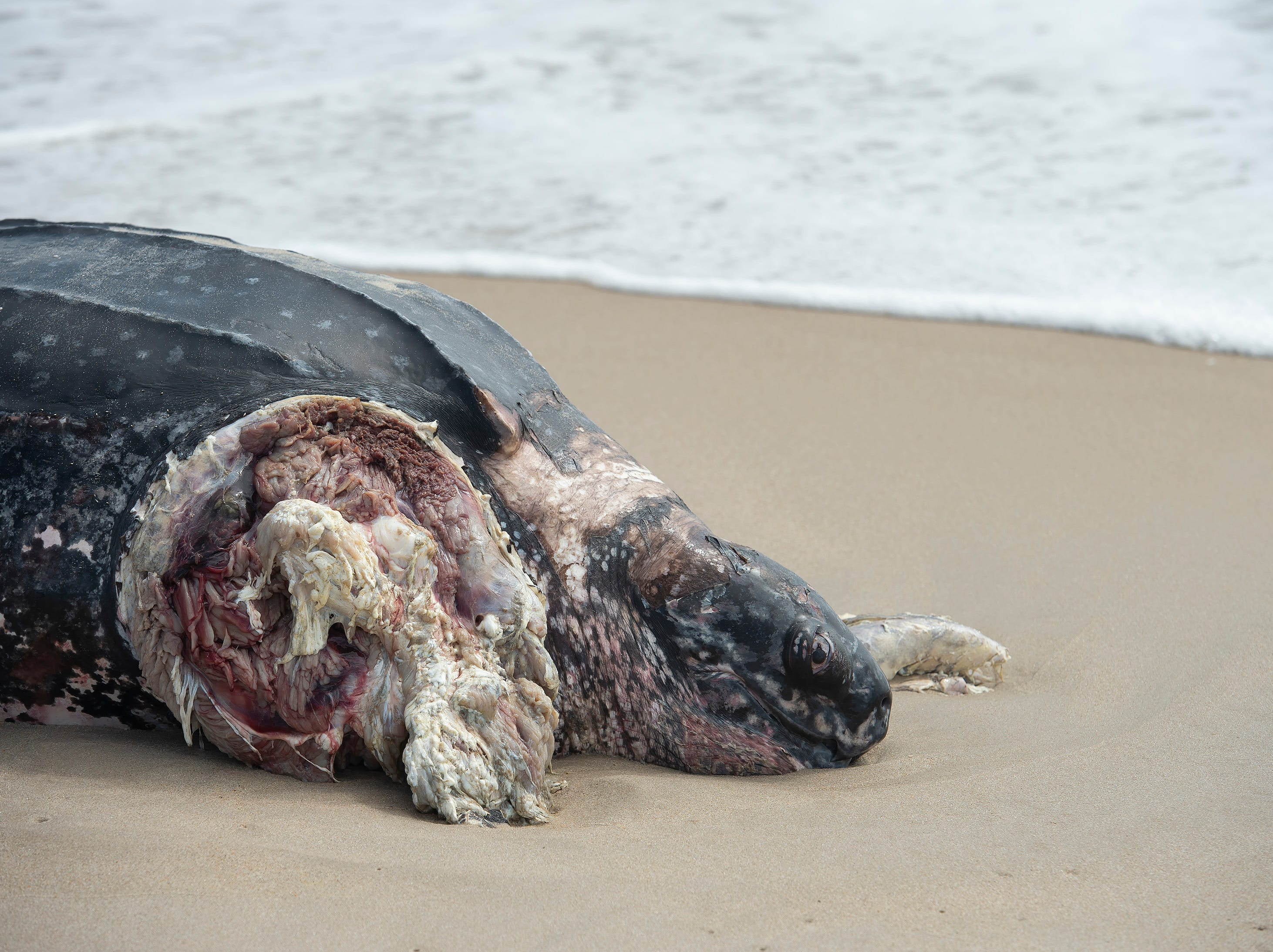 Leatherback sea turtle washed up along the Delaware Seashore State Park Beach, Tower Road south of Dewey Beach.