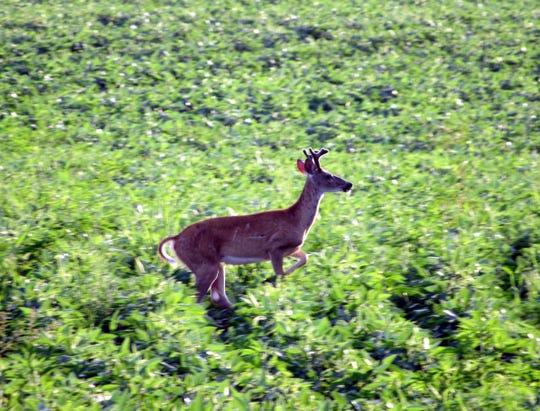 A buck running through Sunnybook Farm soybeans.