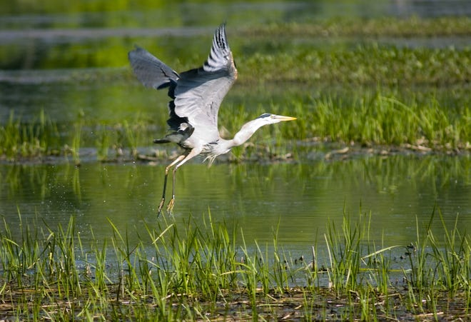 Water fowl takes flight at the wetlands near the Broome County Public Works Highway Division in Chenango.