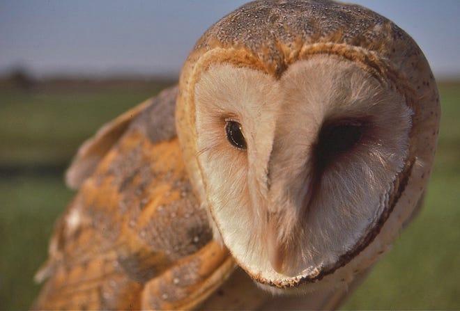 A barn owl in southern Pennsylvania.