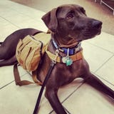 Service dog River, a three-year old lab mix, is in need of expensive surgery to get her mobility back and to be able to help her owner with her needs.