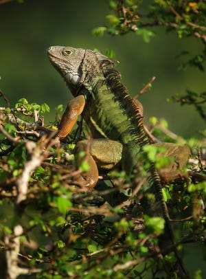 The green iguana is a common exotic pet that originates from Central and South America and has been released into the wild in the U.S.