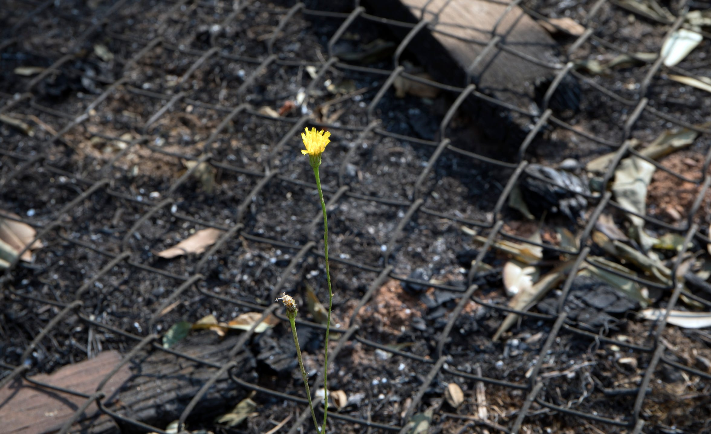 A tiny flower blooms through the charred debris in Keswick, Calif., Monday, August 20, 2018.