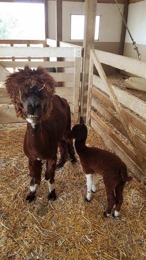 Jasmine with her cria, Fondy Parkher.