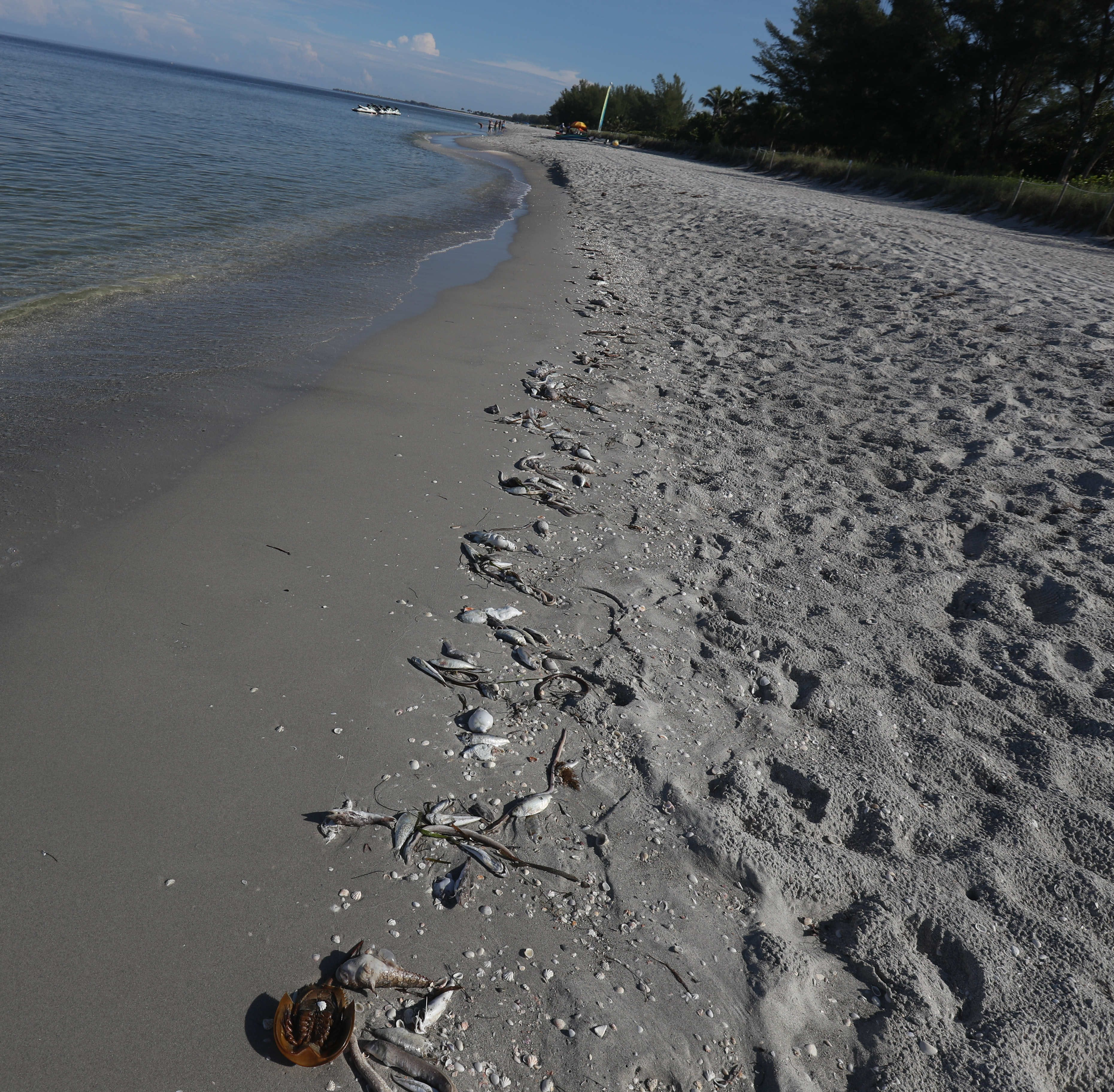 Scenes from a fish kill on Wednesday 8/22/2018 morning at the last public parking area before South Seas Island Resort on Captiva. A red tide bloom in the waters off the coast  Southwest Florida is killing and affecting marine life. Fluctuations in water quality and beach conditions can change on a daily to almost an hourly basis.