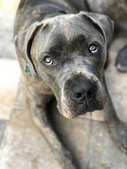 Angus, a mastiff mix, goes to Fort Myers breweries with his owner, Samantha Scott.