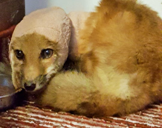 This seriously wounded female fox was stitched up by Doll after it was found with a tin can stuck over its head and neck.  In this photo, it was recovering in a bathroom of the Doll family home.