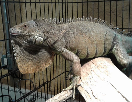 "This iguana named Spitfire is one of many large reptiles at Witty Kitties rescue shelter.  Its founder Jennifer Doll is discouraged by people who buy ""cute little lizards and snakes,"" then fail to take care of them properly when they become much larger and the novelty wears off."