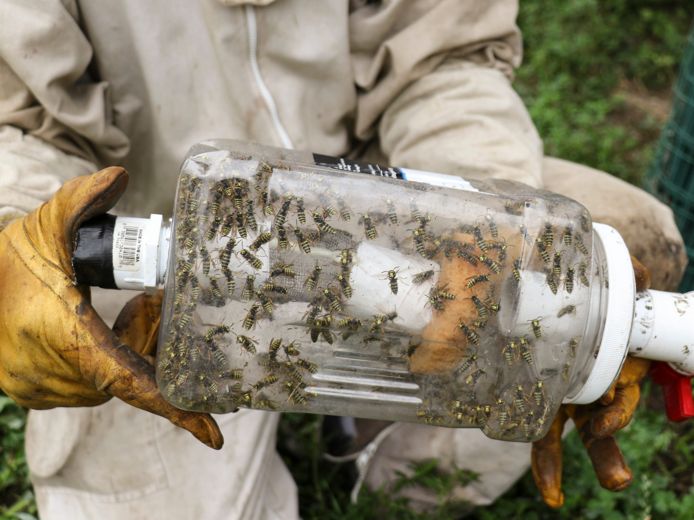 Travis Rockafellow of Perry used a gasoline-powered vacuum to suck up these hornets from a nest in rural Haslett, Thursday, Aug. 16, 2018.  He will take the nest and hornets, put them on ice, and ship them to a lab that extracts the venom for immunotherapy use.