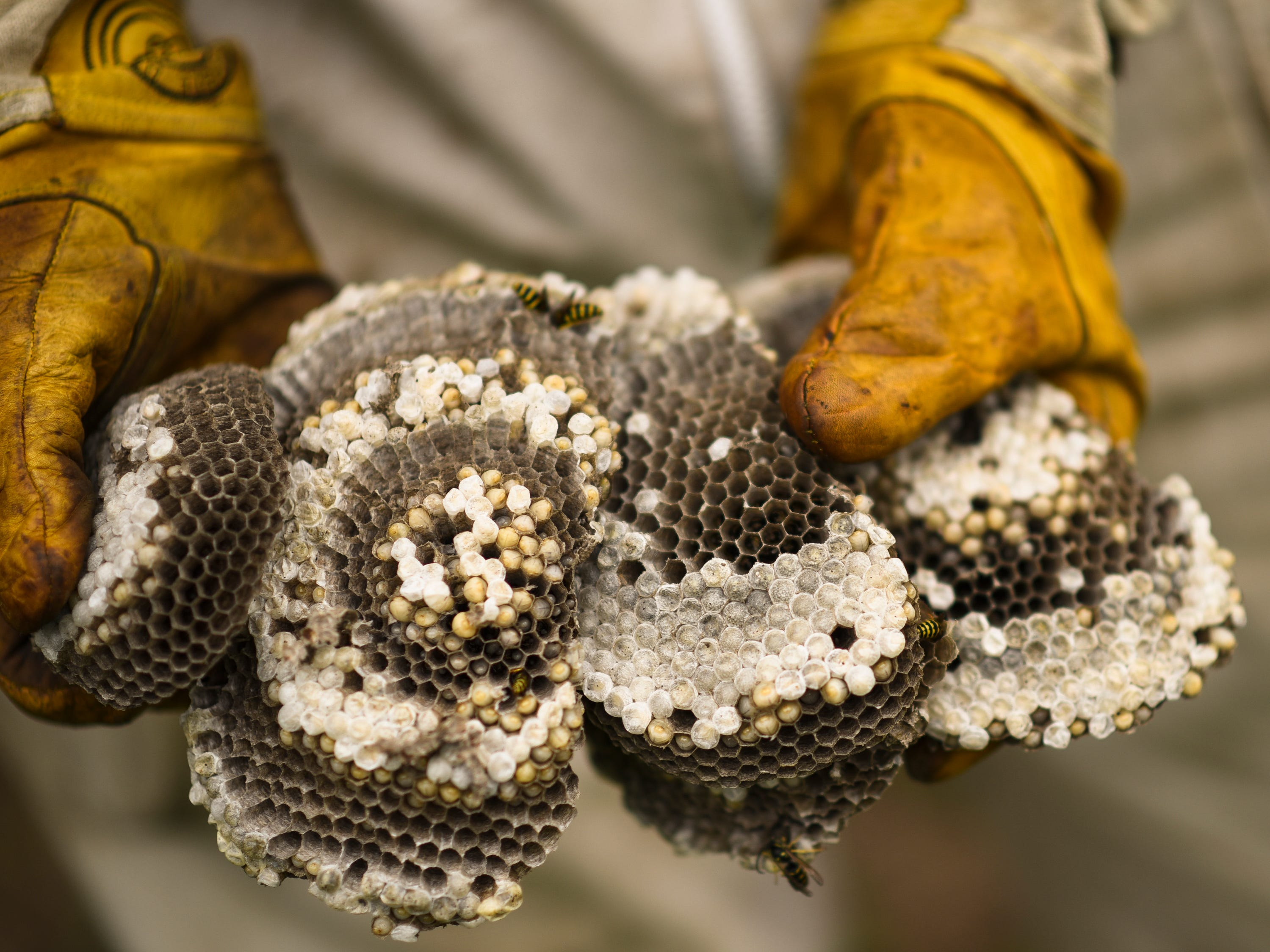 Travis Rockafellow of Perry reveals layers, or combs within a yellow hornet nest, Thursday, Aug. 16, 2018, that he removed at a farm in Haslett.  He is a Perry Middle School teacher who has collects stinging insects and sells them to labs for their venom.