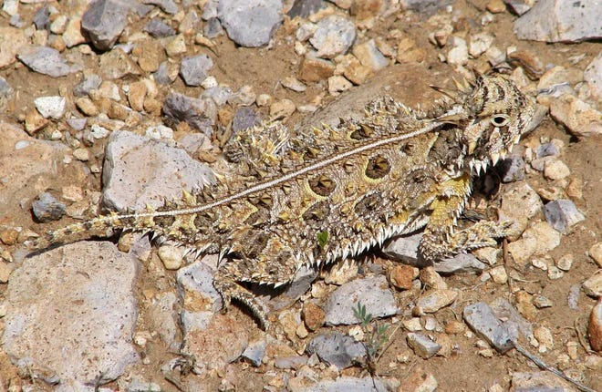A Texas horned lizard waits for its next meal.