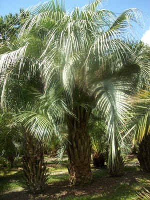 Pindo palm trees are among the trees and plans that will be installed on State Road 87 near Navarre as part of Santa Rosa County's beautification project for the prime tourism corridor.
