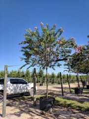 Crepe myrtle is one type of tree and plant that will be installed on State Road 87 near Navarre as part of Santa Rosa County's beautification project for a prime tourism corridor. The two-segment planting effort that began this week was funded by grants from the Florida Department of Transportation totaling more than $500,000.