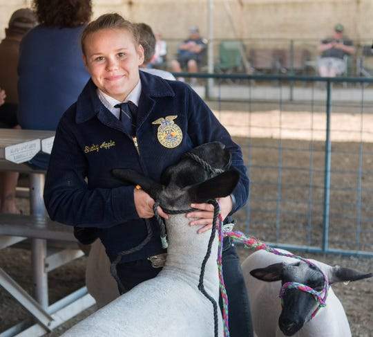 Shelby Apple, from the Carson Valley FFA, prepares to show her sheep.