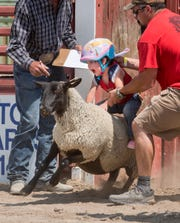A sheep tires to buck off its young rider.
