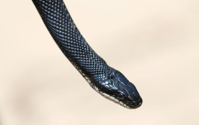 Black rat snakes like this 4 1/2 foot long one, are Missouri's biggest snake and can grow up to 7 feet.