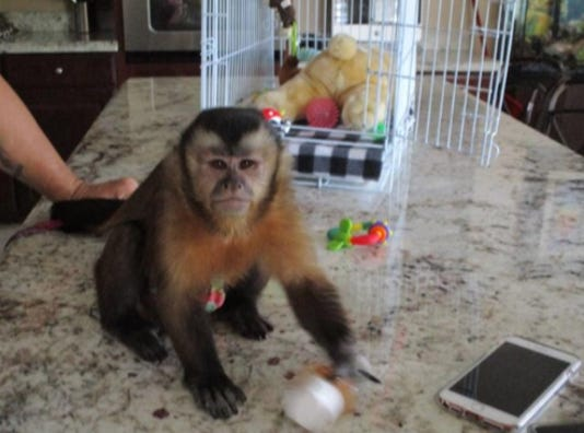 JoJo, who is a 9-month-old monkey, bit a child while at a restaurant in Stuart, according to FWC officials.