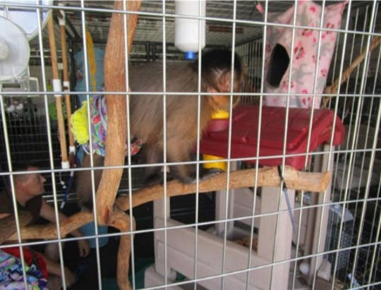 JoJo, the capuchin monkey, that bit a child, according to FWC officials.
