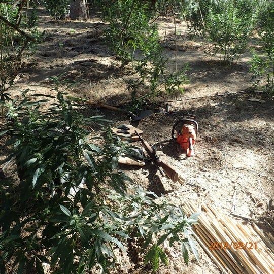 More than 6,000 marijuana plants were found a home near Pine Flat.