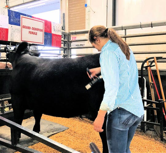 Grace Link getting her Angus  ready for the show.