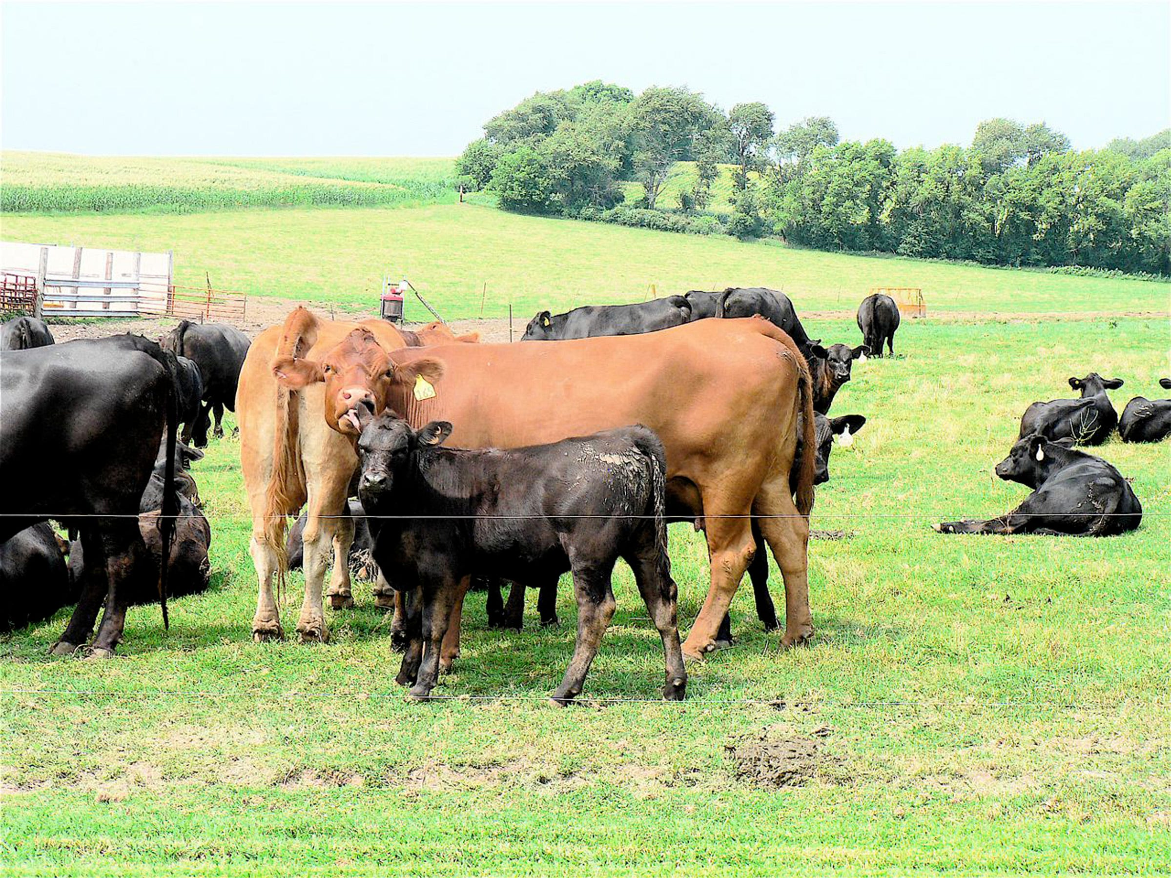A Gelbveih cow and her black calf.