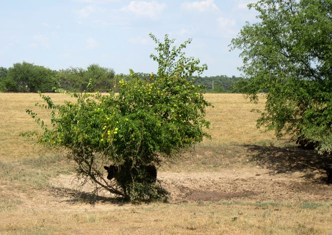 In this Aug. 10, 2018 photo provided by the University of Missouri Extension, a steer takes shelter under a bush near a dry pond on a farm near Monett, Mo. Drought conditions across most of Missouri are causing concerns for farmers.