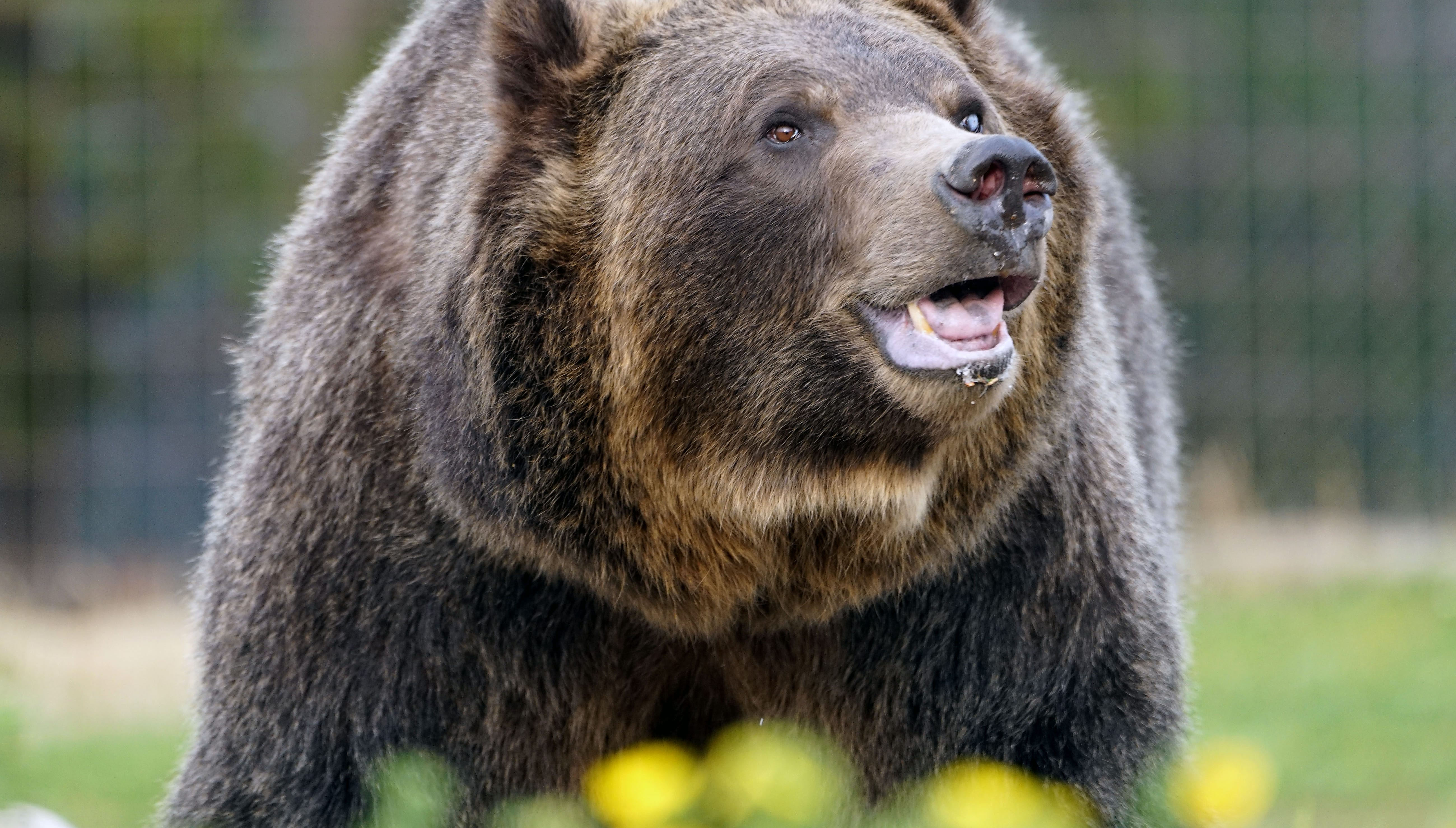 Buy reinstates federal protections for grizzly bears, blocks deliberate tumble hunting season thumbnail