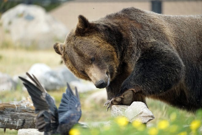 A grizzly bear living at the Grizzly & Wolf Discovery Center in West Yellowstone, Montana, explores its enclosure. Animals living in the discovery center were either rescued from the wild while young or injured, or faced euthanization because they posed a danger to humans.