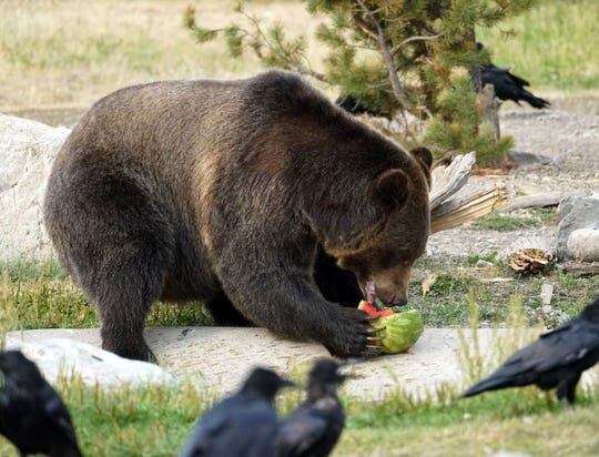 Watched over by hungry ravens, a grizzly bear living at the Grizzly & Wolf Discovery Center in West Yellowstone, Montana, eats a piece of watermelon in its enclosure. Animals living in the discovery center were either rescued from the wild while young or injured, or faced euthanization because they posed a danger to humans.