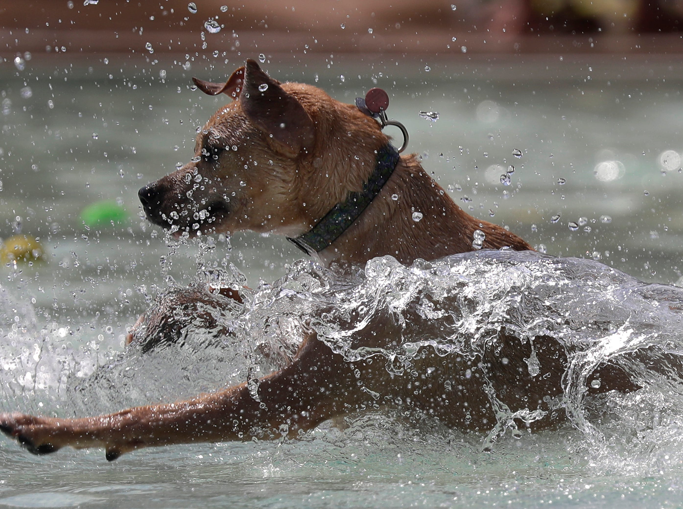Drool in the Pool at Neenah City Pool on Thursday, August 23, 2018, in Neenah, Wis. Drool in the Pool is an annual event that invites dog owners to bring their pets for a canine only swim.Wm. Glasheen/USA TODAY  NETWORKWisconsin