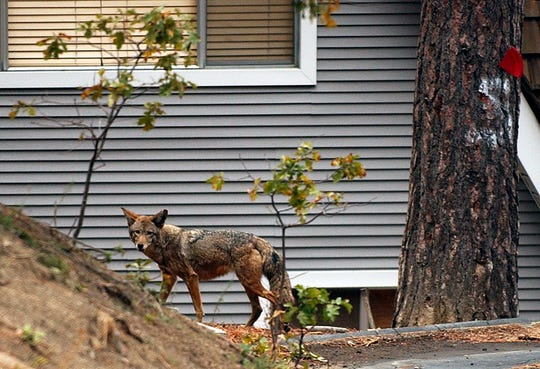 Coyotes are very adaptive, and they do like living in suburban areas because the supply of food is usually high.