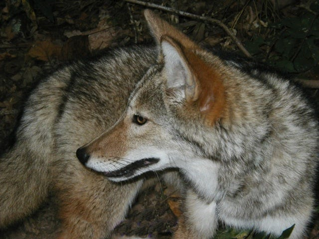 Coyotes are aggressive hunters, and they can pose a threat to household pets such as cats and small dogs.