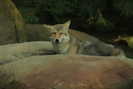 A coyote watches prey from a vantage point. Coyotes are omnivorous, with a diet ranging from mice and rabbits to berries and other fruits.