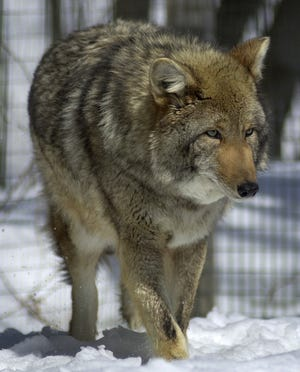 Coyotes are not native to North Carolina, but they have spread to all areas of the state.