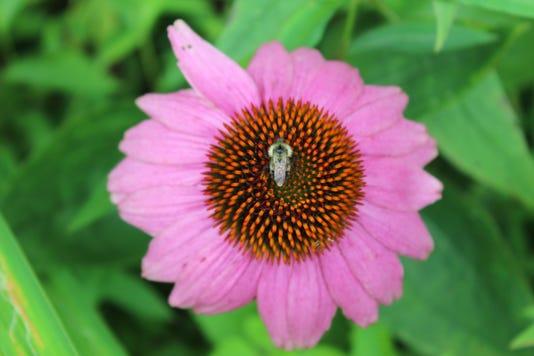 Aug 18 Bee Coneflower