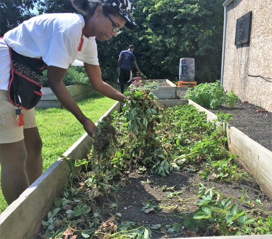 """Shatich """"Miss T"""" Livingstone removes damaged strawberry plants at an urban farm run by The Neighborhood Center in Camden."""